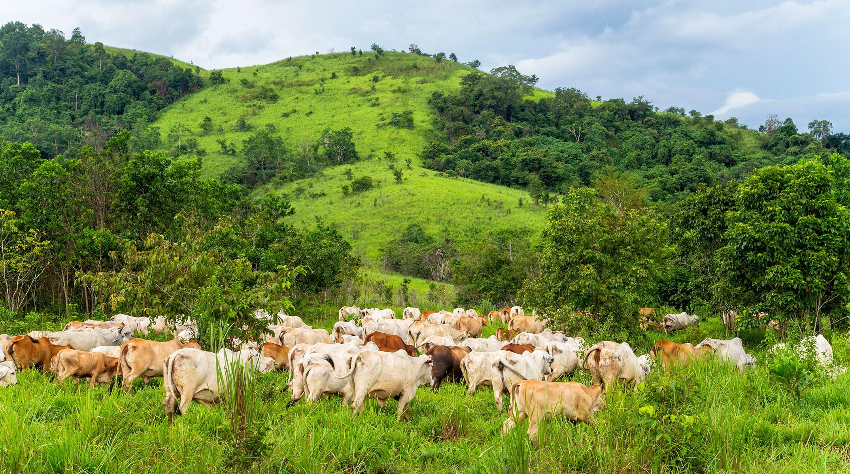 Cattle Grazing in PT CAP in South Kalimantan